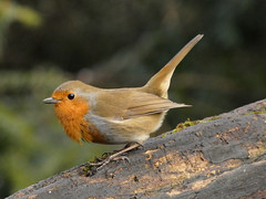 Robin (Deanne Wildsmith) Tags: earthnaturelife robin wolseleynaturecentre staffordshire