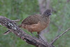 Plain Chachalaca (Alan Gutsell) Tags: bird birds birding photo alan wildlife nature southtexasbirds texas birdsoftexas statepark plain chachalaca plainchachalaca