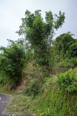 Mega-Bamboo at the Road (3274) (Stefan Beckhusen) Tags: bamboo big tall nature plant tree road street serpentine green tropic flores indonesia asia landscape countryside travel forest vegetation flora outdoors jungle rainforest wood ecosystem noperson environment standing bush grass