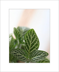 Leaf Lines (Mohan S Bhat) Tags: texture leaves green garden plant indoorplant foliage pattern