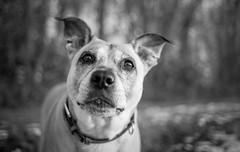 indubitableness (Simon[L]) Tags: dog stare confident bw canonfd35mmf2 concave hmbt