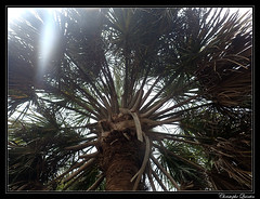 Choux palmiste (Sabal palmetto) (cquintin) Tags: plantae tracheobionta magnoliophyta liliopsida arecidae arecales arecaceae sabal palmetto