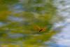 Hovering Dragonfly - Missing Summer (thatSandygirl) Tags: dawesarboretum newark ohio darter dragonfly bronze orange copper flying water lake pond insect animal hovering