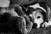 1/365 (destini.mcallister) Tags: 365project dog beagle blackandwhite