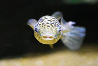 zelena kuglača (Tetraodon nigroviridis / Green Puffer Fish / Grüner Kugelfisch)