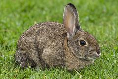 10/365  Rabbit