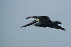 Florida Keys (bcdixit) Tags: florida nikon nikond750 floridakeys birds naturalbeauty