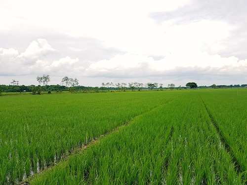 Young Paddy Field