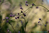 Don't Follow Me (I'm Lost) Bobby Bare Jr (Walt Snyder) Tags: canoneos5dmkiii canonef100400mmf4556l morning purple bokeh wildflowers nature plants lavendar dontfollowme bobbybarejr