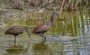 Limpkins in Water (tclaud2002) Tags: limpkin bird wadingbird wildlife nature mothernature snails applesnail water marsh outdoors windingwaters naturalarea windingwatersnaturalarea westpalmbeach palmbeach florida usa