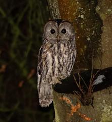 Tawny Owl (xDigital-Dreamsx) Tags: bird birdofprey wildlife nature naturephotography perch trees night nightphotography naturethroughthelens coth5