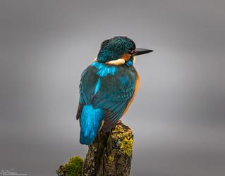 Peaceful Kingfisher