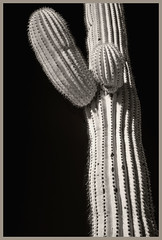 Sabino Canyon IR #14 2018; Sagauro (hamsiksa) Tags: blackwhite photo infrared digitalinfrared botanical plants flora succulents xerophytes cacti cactus cactaceae carnigeagigantea arms saguaro botany stilllife abstract arizona tucson coronadonationalforest sabinocanyonnationalrecreationarea
