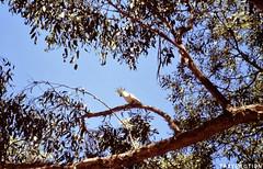 Mt Remarkable National Park (Travolution360) Tags: south australia mt remarkable national park bird watching cockatoo nature travel