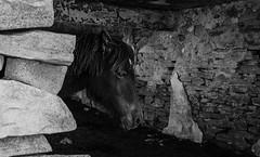 Portrait d'un jeune pottok (Joseph Trojani) Tags: noir blanc black white noiretblanc portait blackwhite pottok poney pony animal animals animaux rhune paysbasque pyrenees wild
