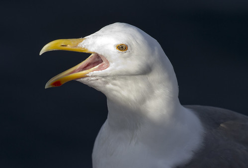 Crazed Seagull