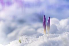 Pushing Through (Peter Quinn1) Tags: crocus snow latewinter signsofspring breakingthrough pushingthrough flowers hardy backgarden sheffield