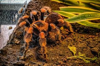 Red-knee tarantula
