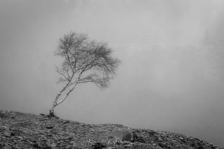 Mono Tree in Mist