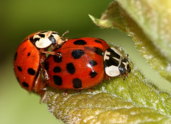 When Push Comes To Love (Ger Bosma) Tags: 2mg228879 veelkleurigaziatischlieveheersbeestje harmoniaaxyridis multicolouredasianladybird multicolouredasianladybug asiatischemarienkäfer coccinelleasiatiquemulticolore ladybird ladybug ladybeetle mating beetles bugs insects