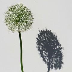 RHS Chelsea Flower Show - 2017 (25) (Padski1945) Tags: rhschelseaflowershow rhschelseaflowershow2017 chelseaflowershow chelseaflowershow2017 royalchelseahospital london londonsw34sr londongardens londonscenes flora flower flowers allium