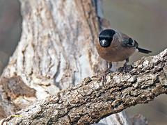 Camachuelo común (Pyrrhula pyrrhula) (25) (eb3alfmiguel) Tags: aves pájaros fringillidae passeriformes camachuelo común pyrrhula