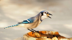 Happy Jay (LupaImages) Tags: bluejay jay bird critter nature wild wildlife outside outdoors feathers peanuts eat snow cold february white blue face beak