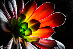 DSC02055 (satoshi etoh) Tags: color nature black rainbow succulent plant