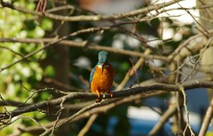 endcliffe park kingfisher sheffield 2018 (21) (Simon Dell Photography) Tags: endcliffe park bingham whitley woods forge dam kingfisher bird rare blue orange winter spring grey animal nature together wildlife sheffield botanical gardens simon dell photography 2018 feb 24 sunny detail high res perched sitting fishing