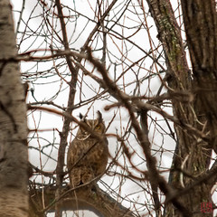 Great Horned Hides in Plain Sight (Mitymous) Tags: ednataylor greathornedowl owl winter20178 wisconsin
