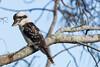 Kookaburra at Arrawarra (jon_spalding) Tags: bird arrawarra kookaburra tree australia