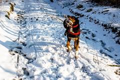 Kiri's found a stick (allybeag) Tags: tallentirehill snow winter sunny snowdrifts kiri dog stick playing path lane