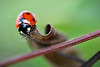 Coccinelle (jade_or89) Tags: coccinelle macro macrophoto nature insecte sigma105mm flickr d7000