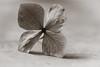 "52 Weeks - 2017 Edition - Week2 Flowers in Mono (norasphotos4u) Tags: flowersplants canonef100mmf28lisusmmacro flowers canon5dmkiv macro social monotone 52weeksin2018 ""week22018 weekstartingmondayjanuary082018 flowersinmono"""