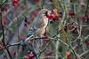 Grünfinken mögen Hagebutten - Greenfinches love rosehips (riesebusch) Tags: berlin garten marzahn vögel