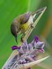 Olive-backed sunbird looking for nectar in water canna flowers (Robert-Ang) Tags: sunbird olivebackedsunbird animal nature wildlife cinnyrisjugularis animalplanet jurongecogarden singapore feeding watercanna swamplily
