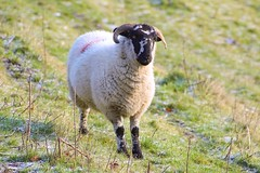 🐑 (BennDF) Tags: white black wild vegetation green cold scenic hiking outdoor photos photo ewe animals animal beginner farmers hills fluffy fields farm livestock canon nature wildlife horns ram sheep