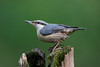 Nuthatch (Simon Stobart) Tags: nuthatch sitta europaea post perched northeast england naturethroughthelens