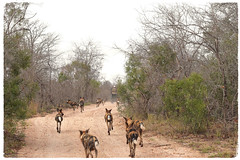 """Look a Car! Let's Chase it!"" (The Spirit of the World ( On and Off)) Tags: wilddogs africanwilddogs paintedwilddogs capewilddogs wildlife nature safari gamedrive landrover vehicle trees road dirtroad chasing africa timbavati southafrica 12wilddogs"