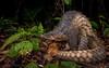 Sunda Pangolin (Manis javanica) (elliotbudd) Tags: sunda pangolin manis javanica javan malayan malaysia borneo elliot budd kinabatangan sandakan