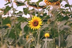 hi (mihxiii) Tags: 50mm summer nature sunflowers