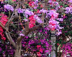 cercis siliquastrum - bugambilias (carlosjunquero) Tags: flores bugambilias aiora