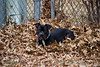 Tina in the Leaves (Alex Wilson Photography) Tags: dog dogs pitbull pittie pibble pit pitbulls doggies cute cutie big large black dark chain collar leaves leave fence fences fencing white