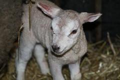 New Life  Just  Born  8-2-2018 (excellentzebu1050) Tags: newlife newborn lamb twins birth farm closeup animal animalportraits indoors coth5 sunrays5