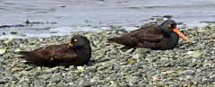 Black Oystercatcher - 094A8569a1c (Sue Coastal Observer) Tags: blackoystercatcher bloy haematopusbachmani atrest blackiespit surrey bc britishcolumbia canada