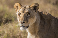 Lioness [Explored, thanks] (matttrevillion) Tags: botswana khwai lion lioness africa