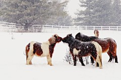 Snow Kiss (SkyeHar) Tags: fencefriday miniaturehorses horses winter snow snowfall sonya6300 sel30m35 animals nature fence pferde chevaux caballos weather neige nieve hiver invierno paddock