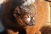 Red Bellied Lemur (charliejb) Tags: redbelliedlemur lemur mammal primate 2018 fur furry furred red wildplace wildlife cribbscauseway bristol