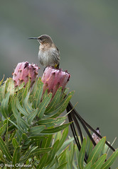 Cape Sugarbird [Kapsockerfågel] (Promerops cafer) (Hans Olofsson) Tags: kleimond sydafrika capesugarbird promeropscafer kapsockerfågel haroldporterbotanicalgarden westerncape