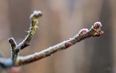 New life (Monika Kalczuga (on&off)) Tags: frost buds spring nature macro branch wood stick dof
